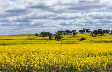 Yellow blossoming canola rapeseed crops with trees in background against cloudy sky