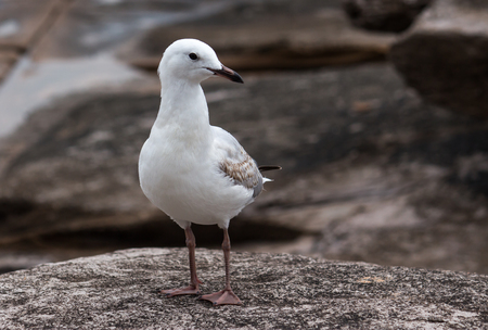 Single seagull bird standing in profile on coastal rock platform
