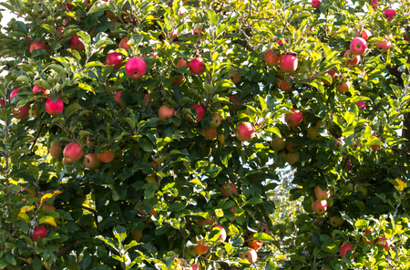 Apple tree overflowing with ripening red fruit in farm orchard