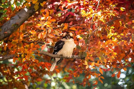 Australian native kookaburra kingfisher bird perched on tree branch with autumn fall golden yellow, red and orange leaves Фото со стока