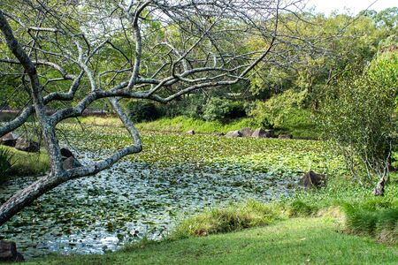 Garden water pond filled with lily plants, a bare branched maple tree at waters edge, surrounded by grass and shrubs