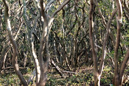 Trees growing in mangrove swamp ideal as natural background Standard-Bild