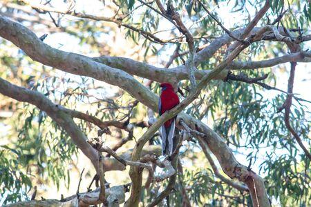 Australian Crimson Rosella parrot native bird perched in branch of eucalyptus gum tree Standard-Bild