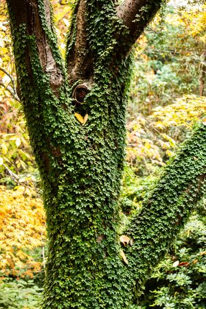 Tree covered in green ivy plant set in suburban garden with autumn fall yellow leaves in background Standard-Bild