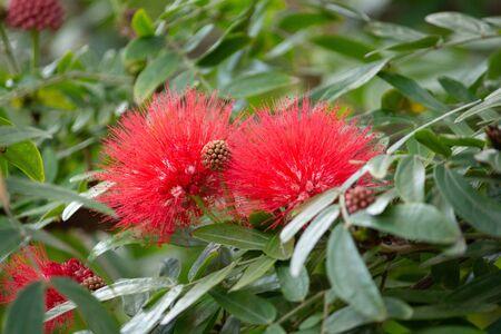 Red powderpuff calliandra flower blooms against green foliage Standard-Bild