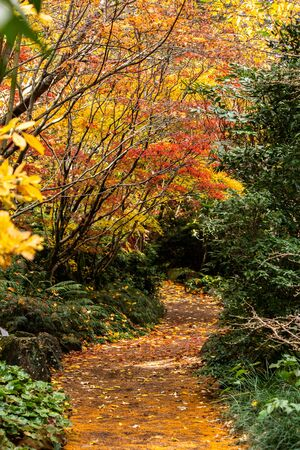 Autumn fall golden leaves in orange, yellow, red on Japanese maple garden trees surrounding winding garden path