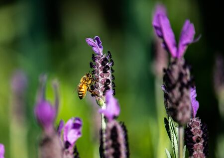 Close up honey bee gathering nectar from purple lavender flower
