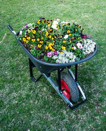 Garden wheelbarrow filled with flowering pansies set on green grass lawn