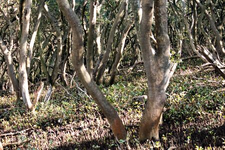 Natural background wallpaper of trees in mangrove swamp