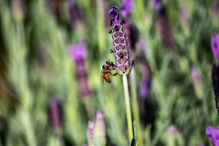 Close up honey bee gathering pollen from purple lavender flower