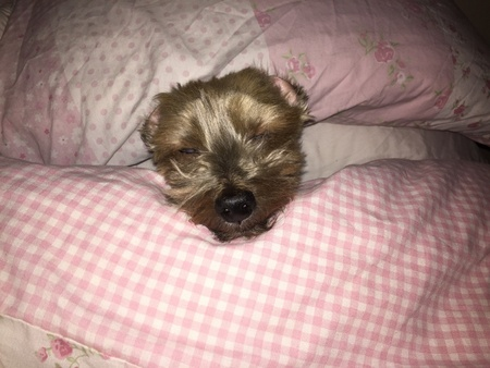 pillows: Sleeping dog in bed