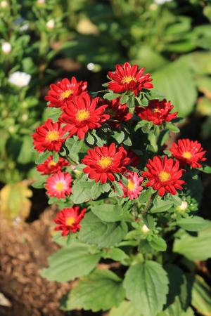Red China Aster Stock Photo