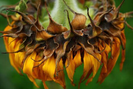 shrunken: Fungus on sunflower dry Stock Photo