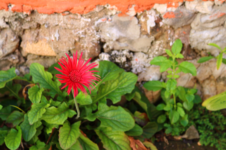 Red Gerbera flower close-up against brick wall