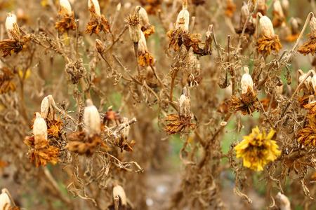 植物上の乾燥したマリーゴールドの花のクローズアップ