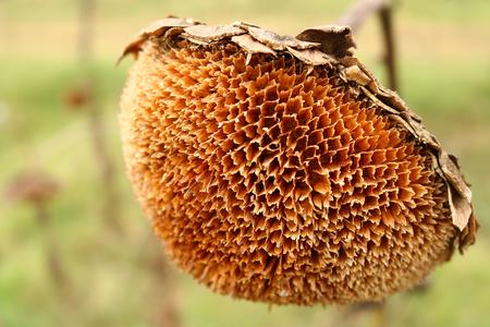 closeup of dry sunflower
