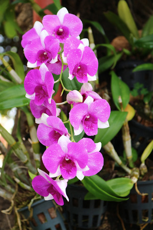 Purple Dendrobium Orchid 스톡 콘텐츠