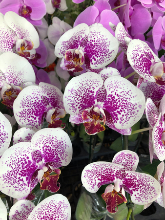 Phalaenopsis Orchid in the garden