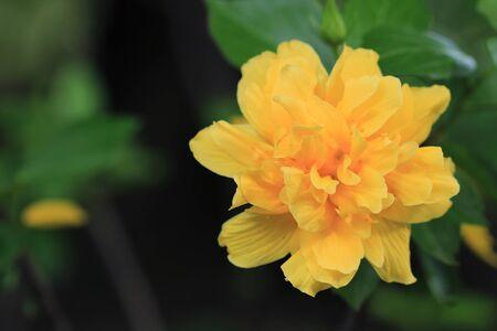 close up Hibiscus flower in the garden