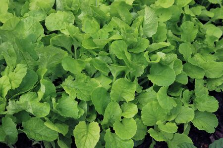 Chinese Cabbage in vegetable garden