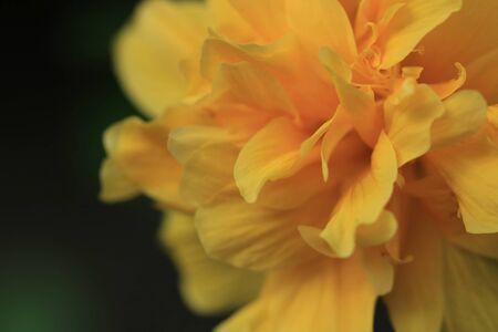 close up yellow Hibiscus flower Zdjęcie Seryjne