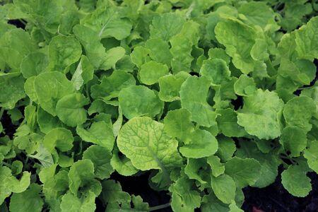 Growing Peking cabbage Stock fotó