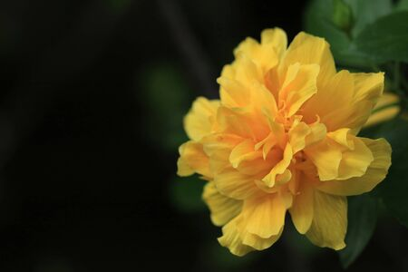 Close up of yellow Hibiscus flower Zdjęcie Seryjne