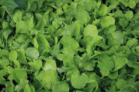 Growing Chinese cabbage background