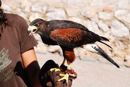 falconry: Falconry Stock Photo
