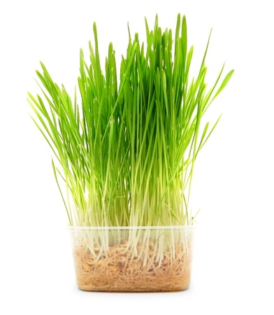 Grass in the container  On a white background  photo