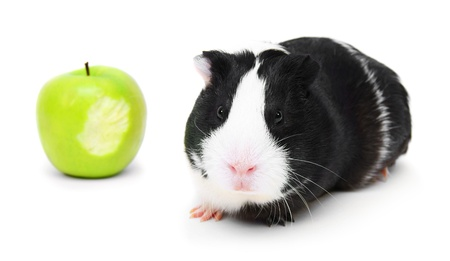 Guinea pig and an apple. On a white background. photo