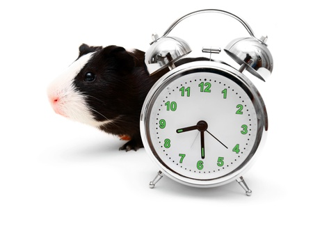 guinea pig and alarm clock on white Stock Photo - 15266587