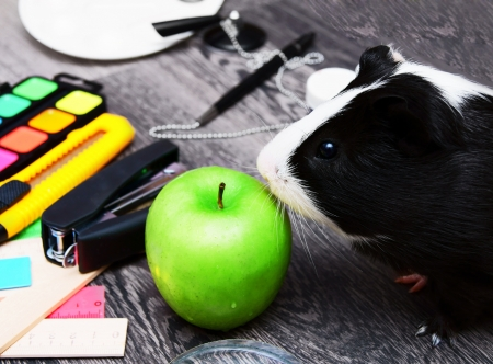 Back to school  Guinea pig  On wooden background  photo