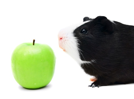 Guinea pig and apple   On white   photo