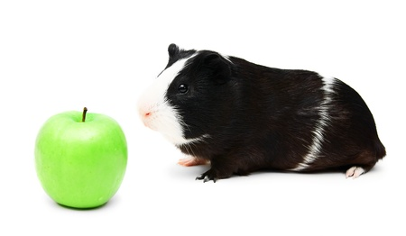 Guinea pig and a green apple   photo