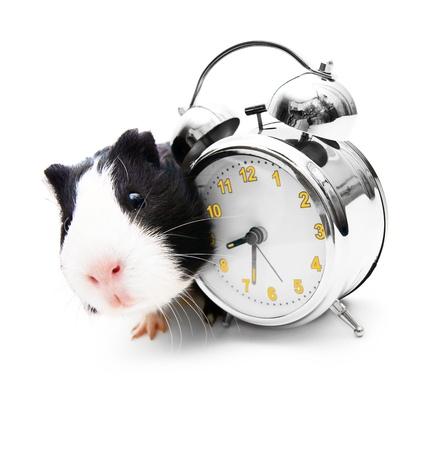 newborn rat: Guinea pig and an alarm clock Stock Photo