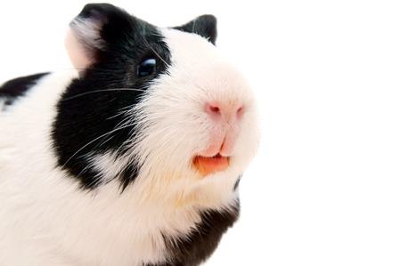 newborn rat: guinea pig. On a white background.