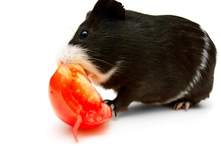 newborn rat: guinea pig and tomato. On a white background.