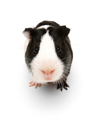 guinea pig. On a white background. photo