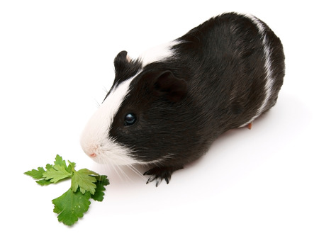 newborn rat: guinea pig and greens. On a white background. Stock Photo