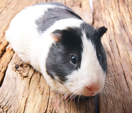 Guinea pig on wooden board. Stock Photo