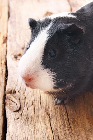 기니 돼지 나무 보드에.
