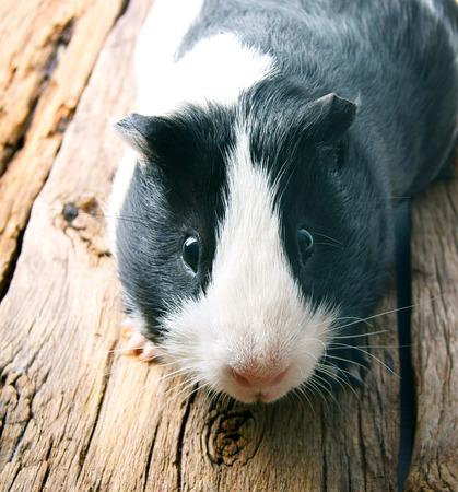 ギニア豚。木製の背景。