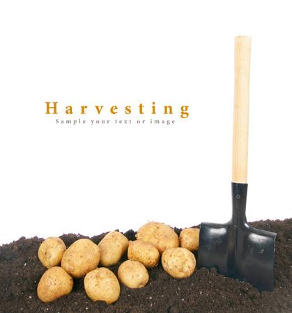 tuberous: fresh potato and shovel in earth.
