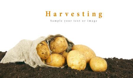 수확. 지구에 가방에 감자입니다.