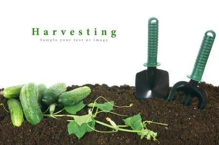 cuke: Harvesting. Cucumbers and garden tools on the earth.