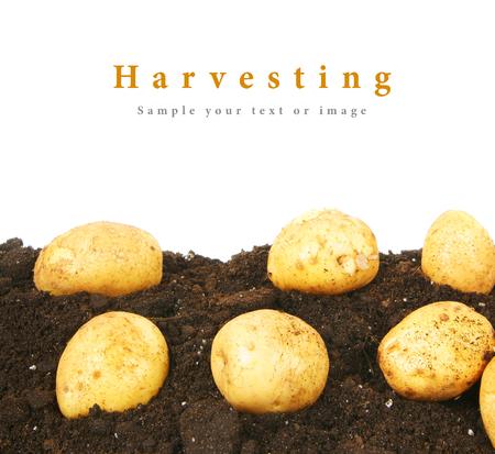 tuberous: Potato on the earth. Stock Photo