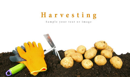 Harvesting. A potato and gardening tools on earth. photo