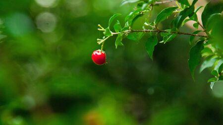 Red Little Cherry