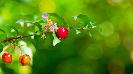 Three little cherry